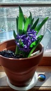 hyacinth-in-pot